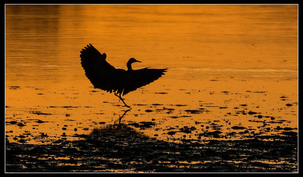 Heron landing   SL11