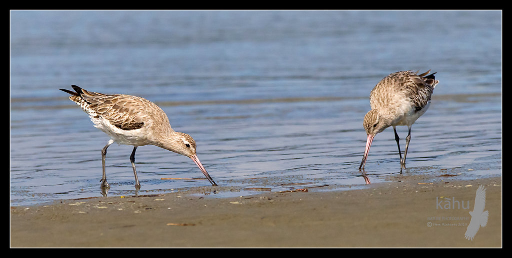 Bar taliled Godwits
