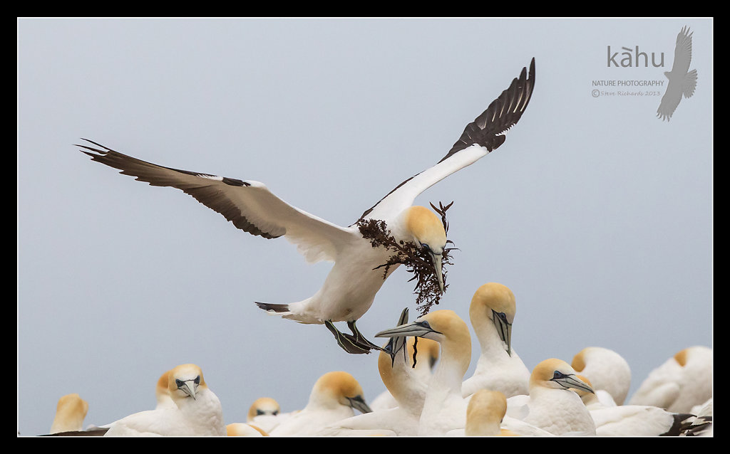 Gannet carrying nesting material, Cape Kidnappers   SB8