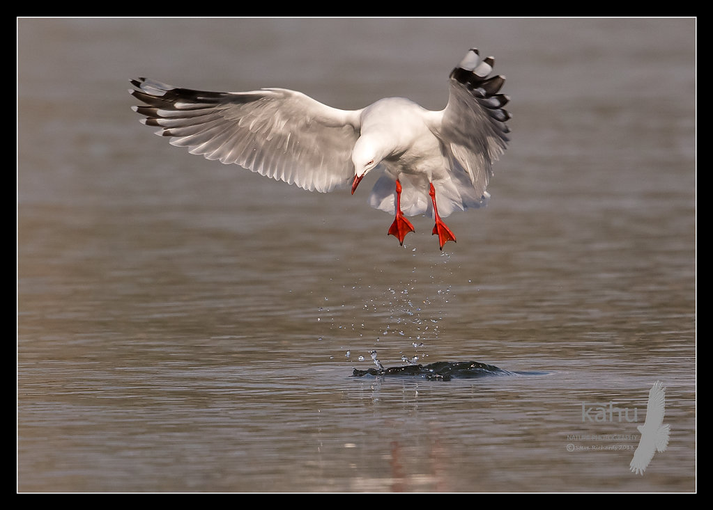 Red Billed Gull leaping into the air  SB17