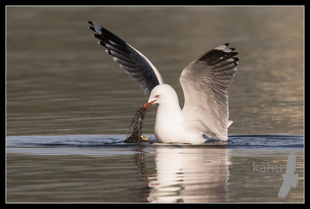 Red Billed Gull pulling up weed for crabs  SB21