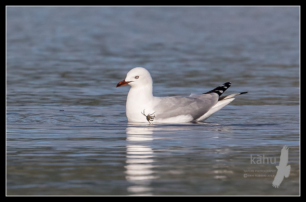 Red Billed Gull   SB25