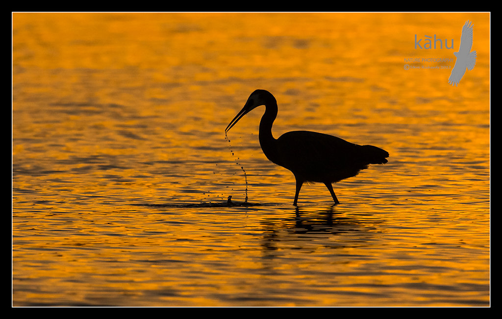 White Faced Heron on evening  SL12