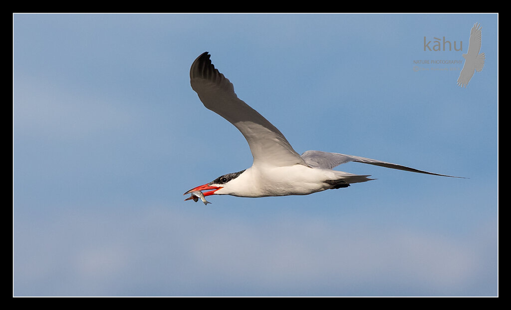 Caspian Tern returns with a fish for its chick  CT16