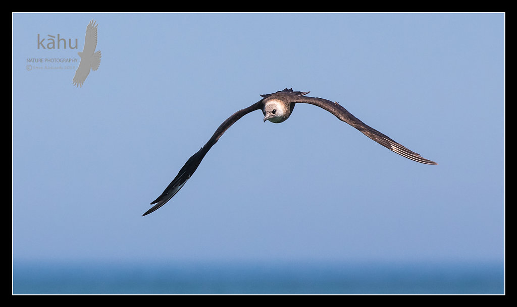 Parasitic Jaegers are very fast powerful birds, who display amazing areobatics when chasing terns    PJ1