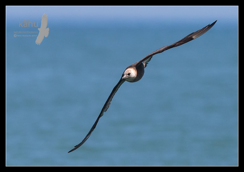 Parasitic Jaeger is also known as an Arctic Skua.  PJ2
