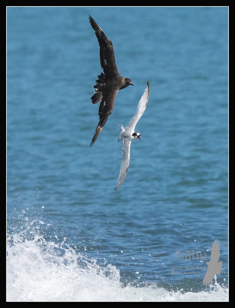 Parasitic Jaeger  chasing  fleeing White Fronted Tern  PJ3