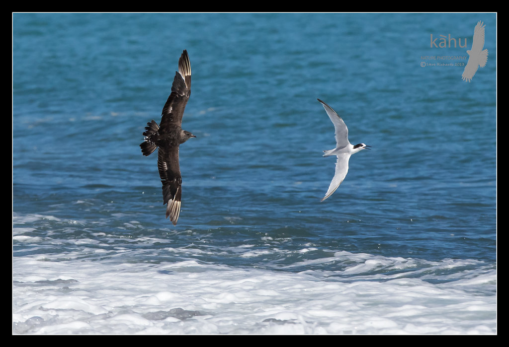 Parasitic Jaeger  chasing White Fronted Tern  PJ5