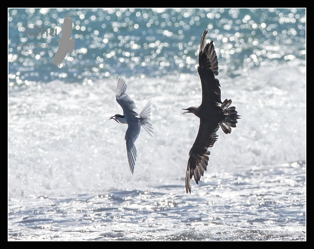 Parasitic Jaeger  chasing White Fronted Tern  PJ6