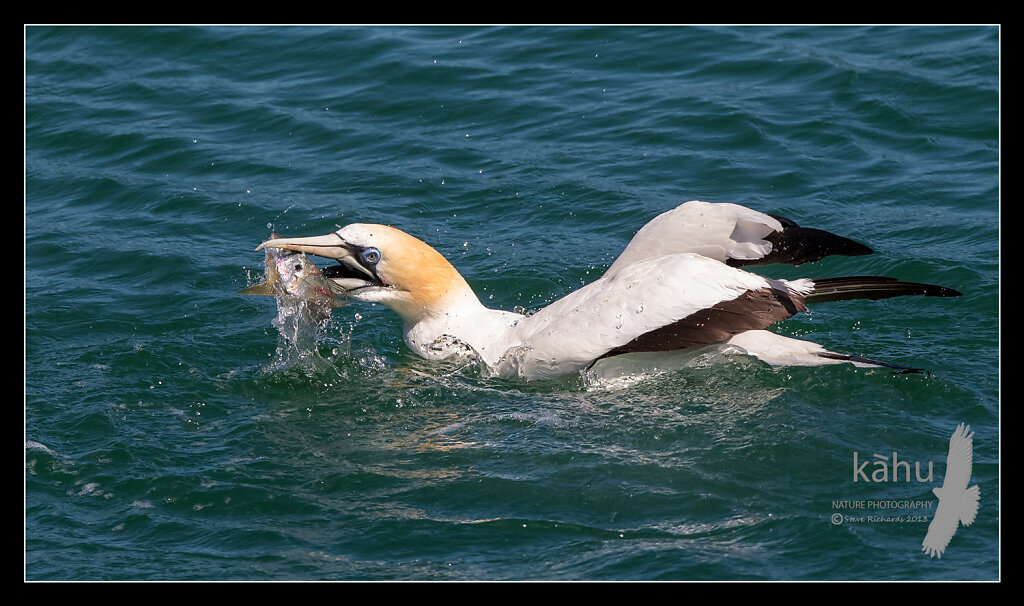 Gannet with a yellowtail, Tutukaka,  SB174