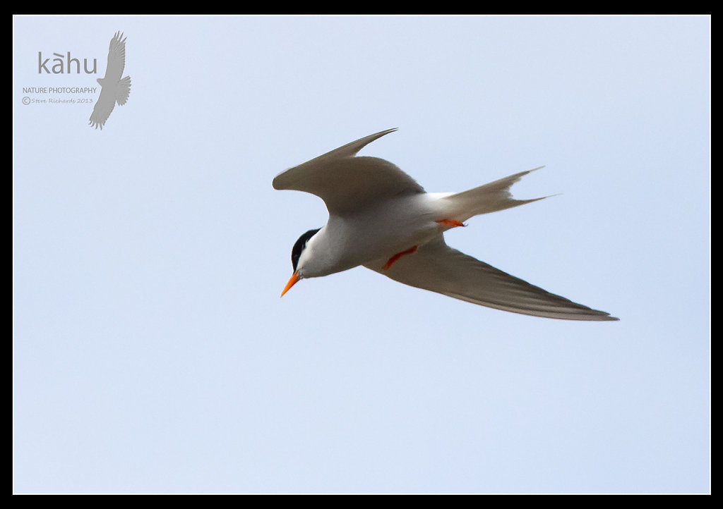 Black Fronted Tern in flight   SB189