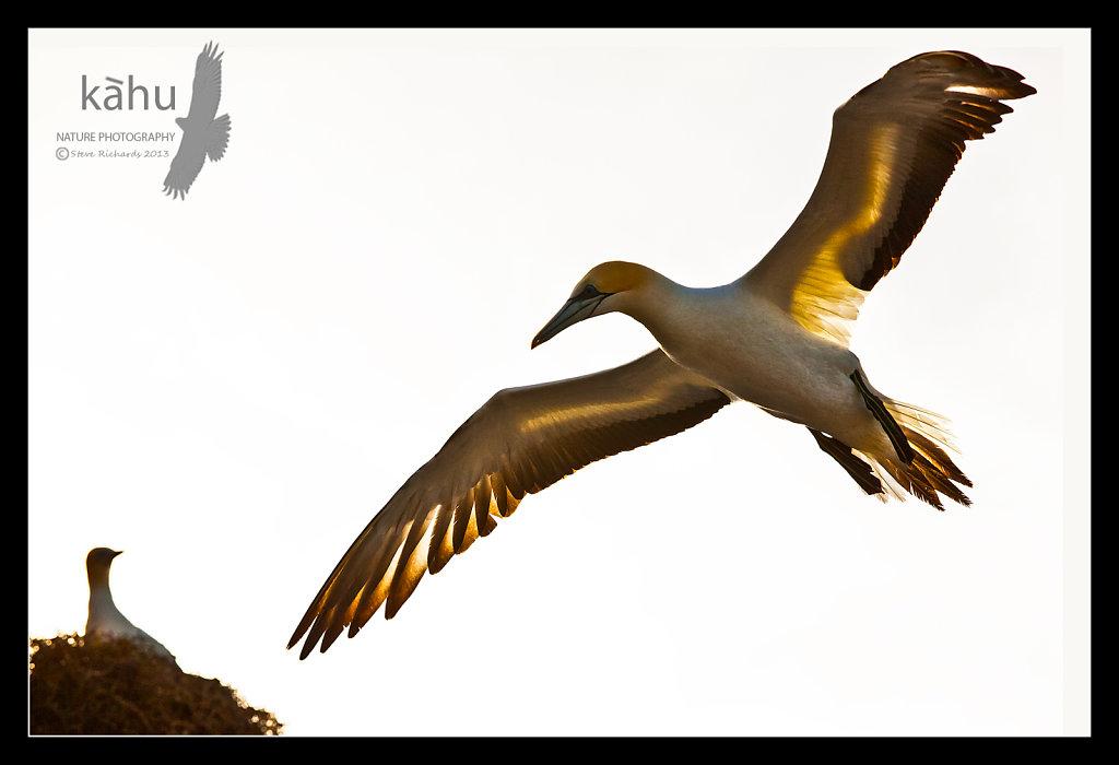 Back lit gannet coming into land   SB169
