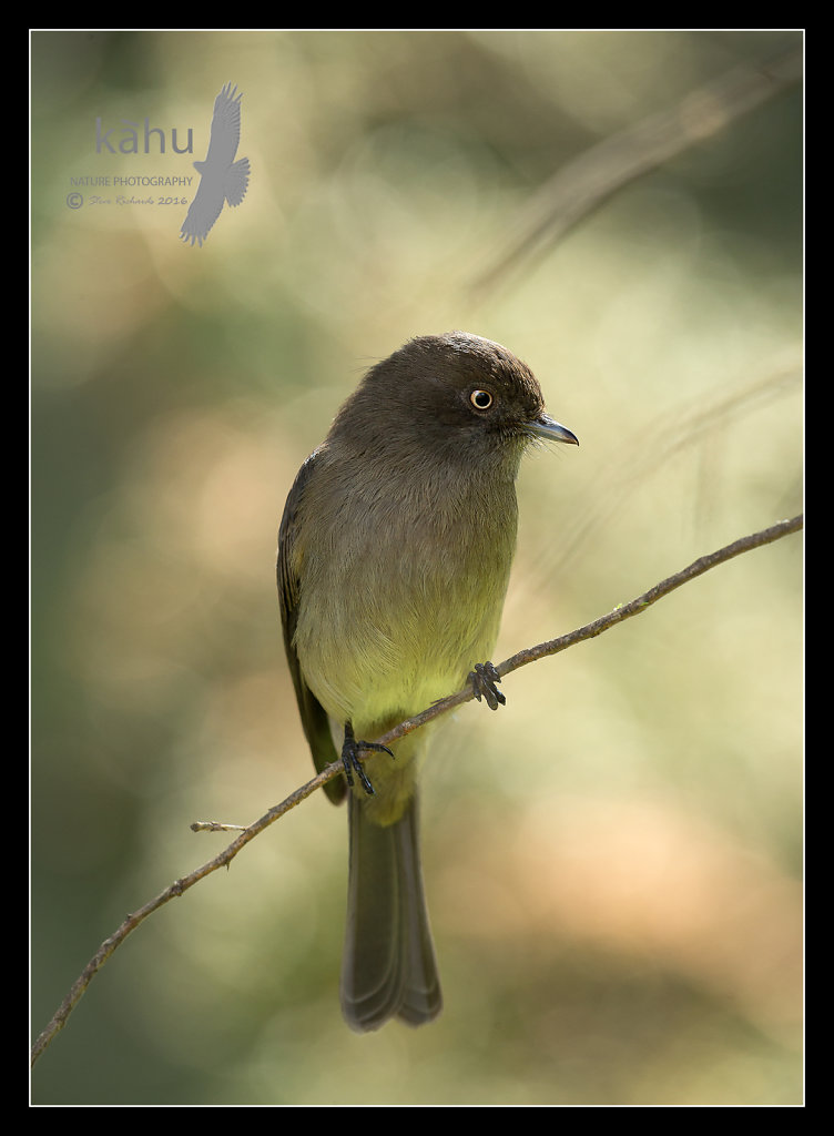 Abyssinian-Slaty-Flycatcher.jpg