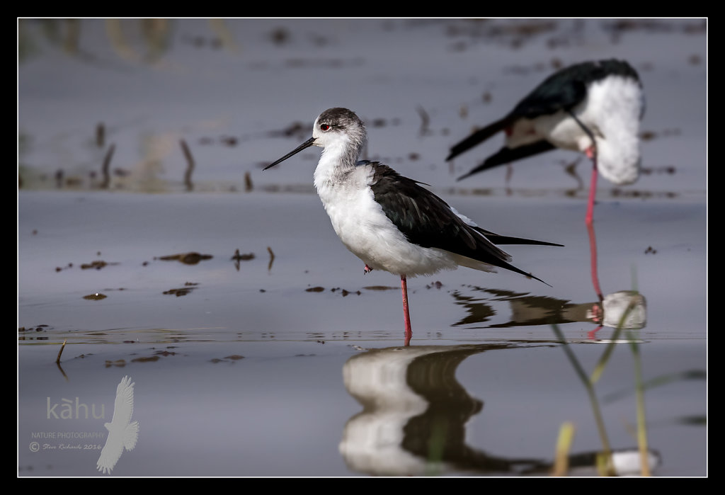 Black-winged-stilt.jpg