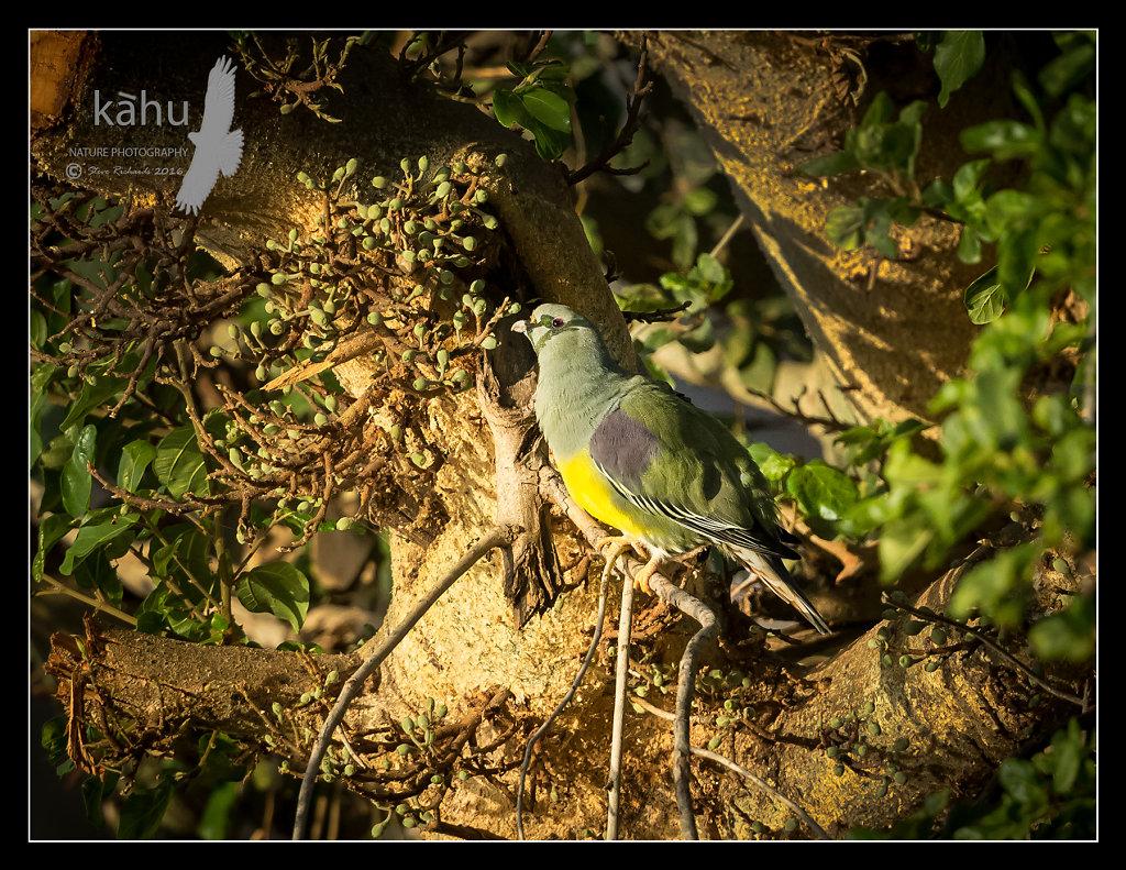 Bruces-Pigeon.jpg