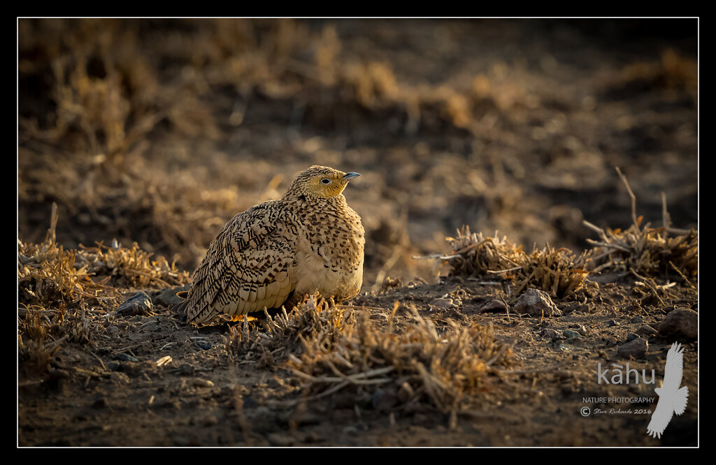 Chestnut-bellied-Sandgrouse3.jpg