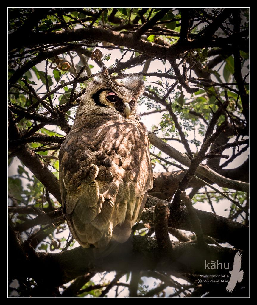 Verrauxs-Owl.jpg