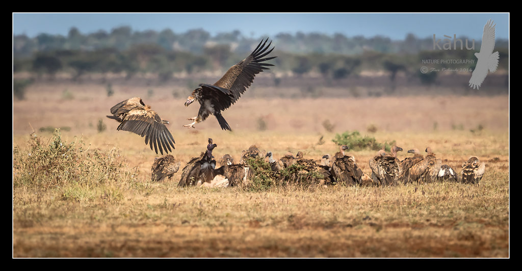 White-Backed-Lap-faced-and-Ruppells-Vultures.jpg