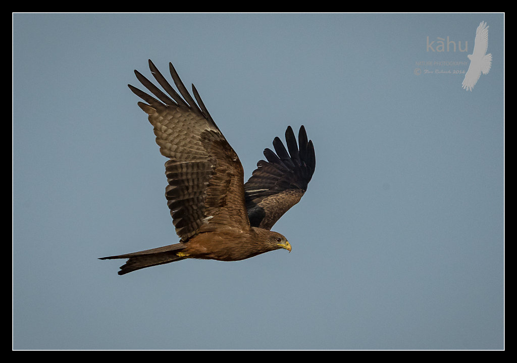 Yellow-Billed-Kite.jpg