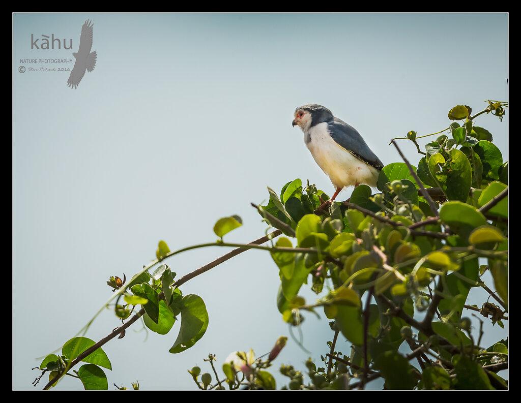 Pygmy-Falcon-scanning-for-prey.jpg