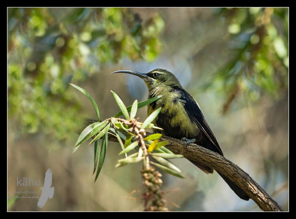 Tazzare-Sunbird.jpg