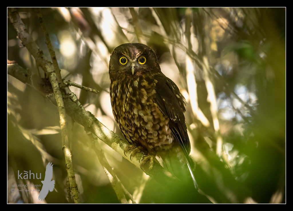 Morepork in dense forest