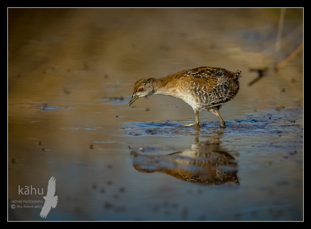 Marsh Crake searching for food