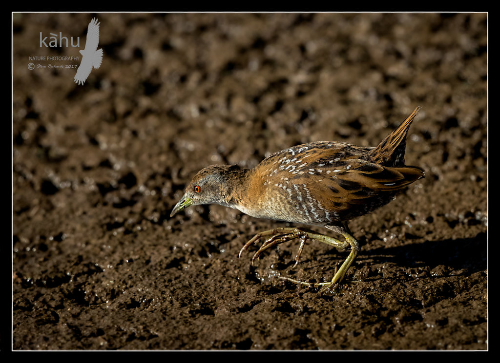 Marsh Crake hunting insects on a mud flat