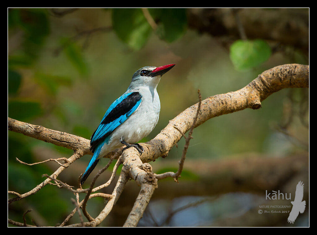 Woodland-Kingfisher2.jpg