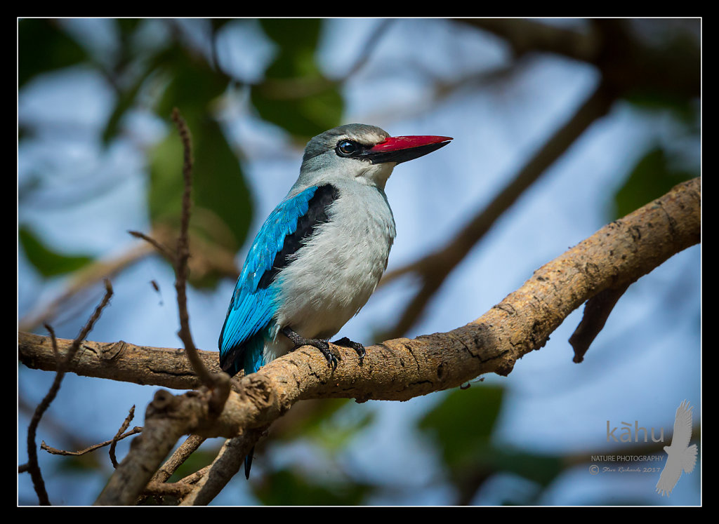 Woodland-Kingfisher3.jpg