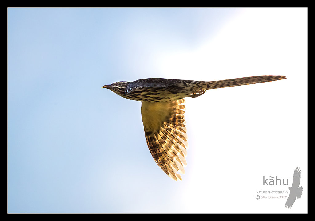 Long Tailed Cuckoo flies by in a hurry