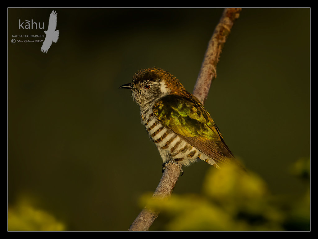 Shining Cuckoo in the golden evening rays