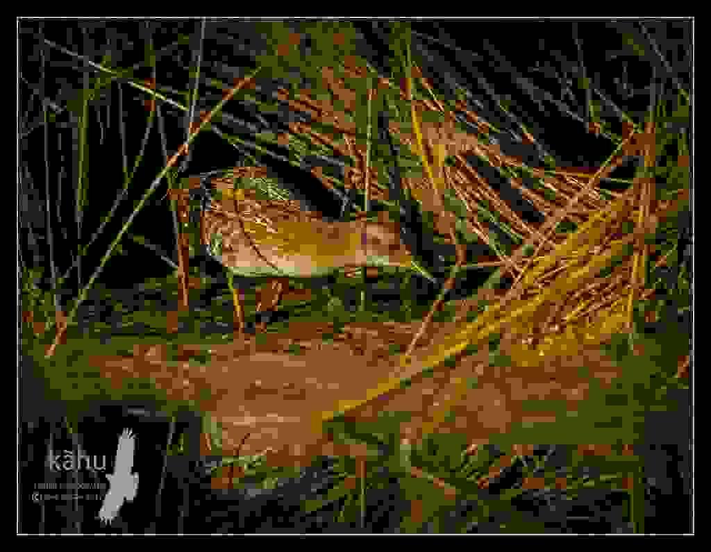 Marsh Crake  spies a bug