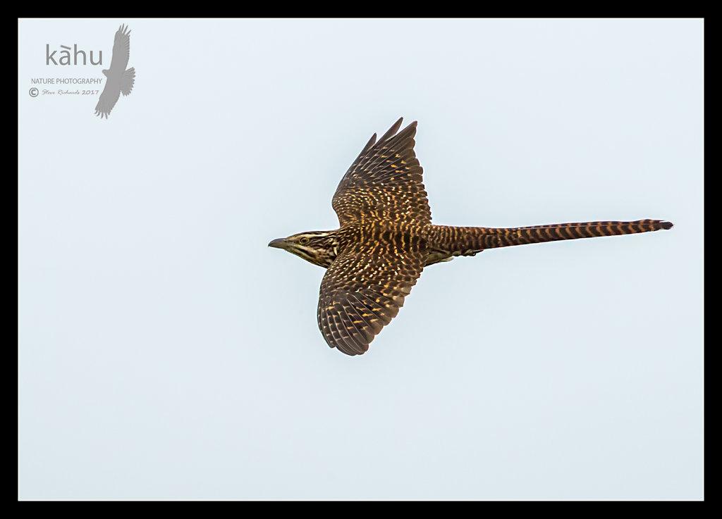 Long Tailed Cuckoo in flight