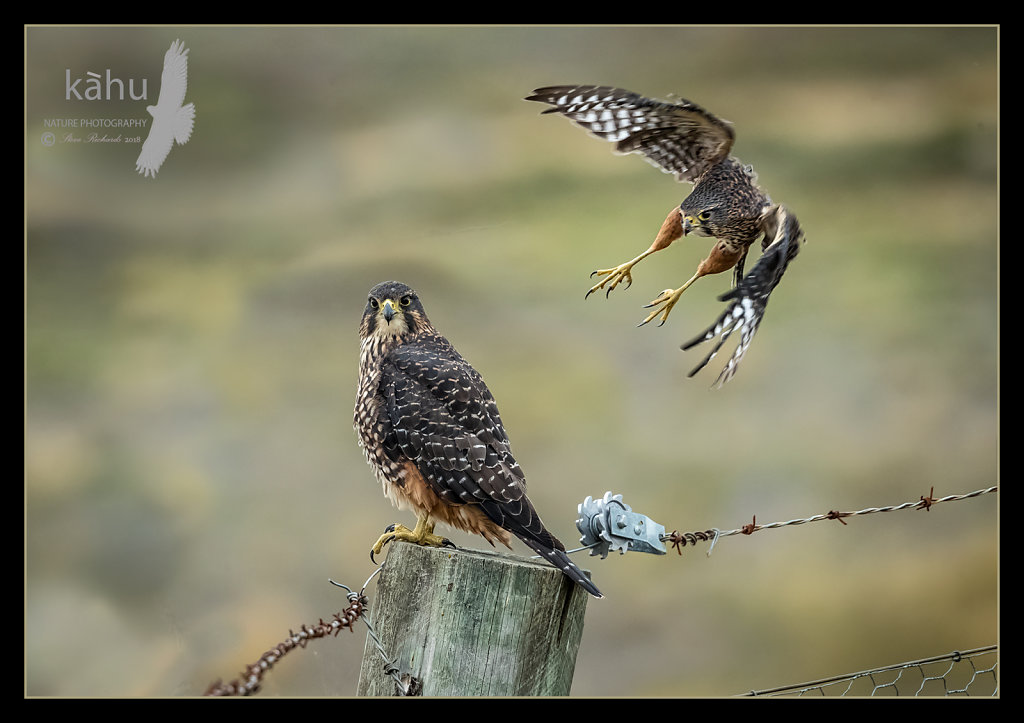 Male NZ Falcon playing chicken with it's mate, Otago