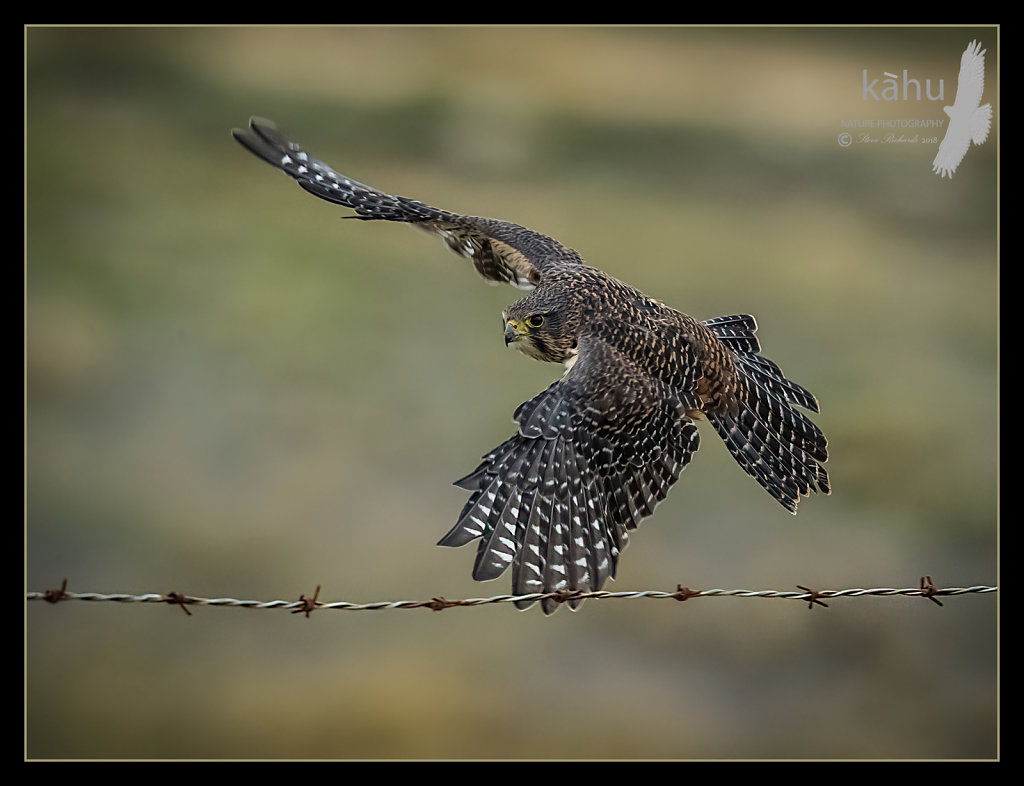 Male falcon flies past below  the fence
