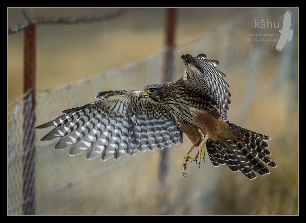 Falcon come into land on the fence