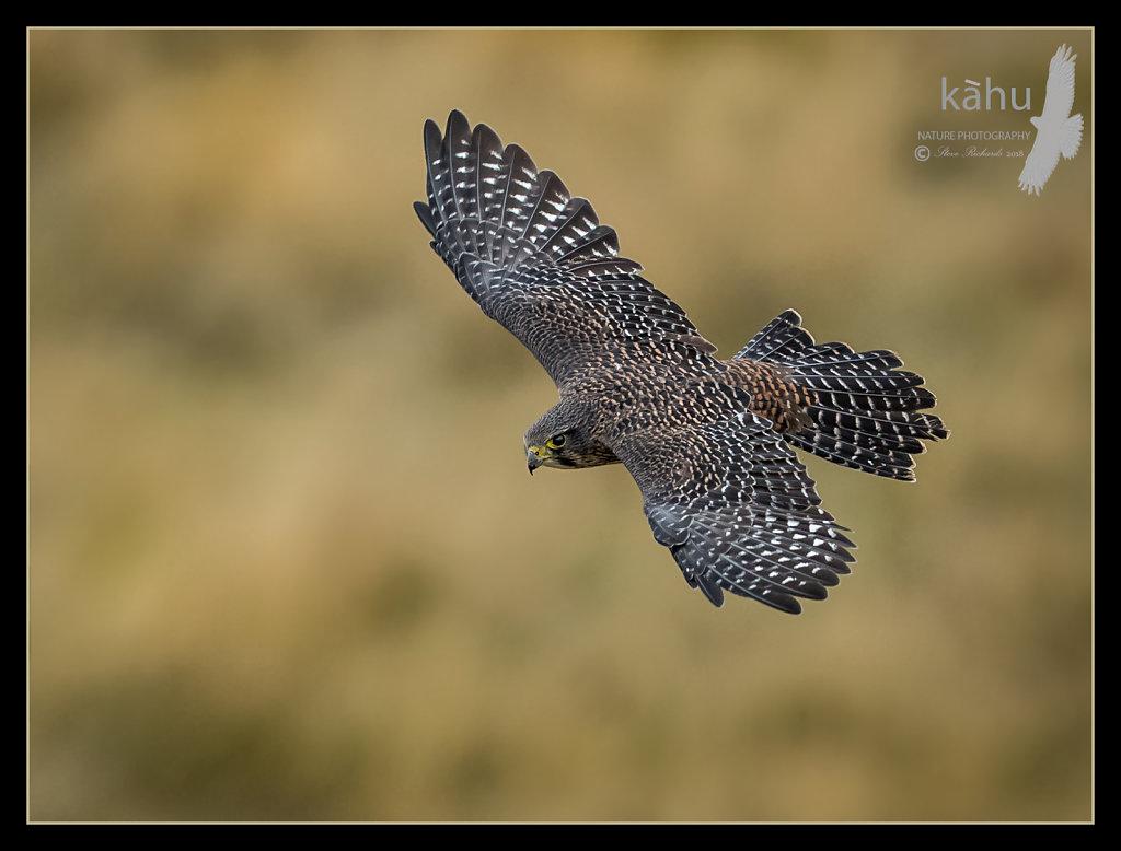 A male falcon flies below me. Poolburn Otago