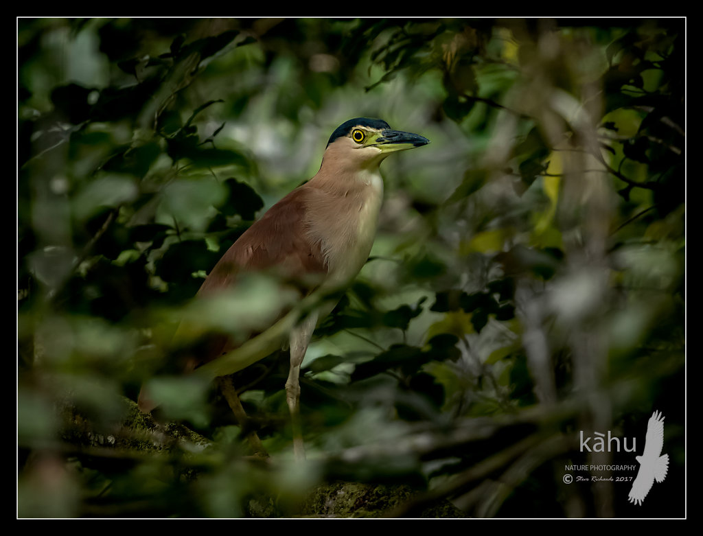 Nankeen-Night-Heron.jpg