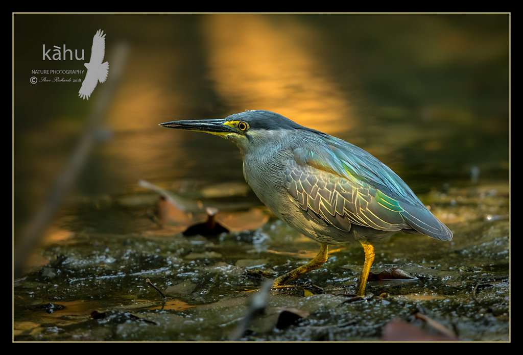 Striated-Heron.jpg