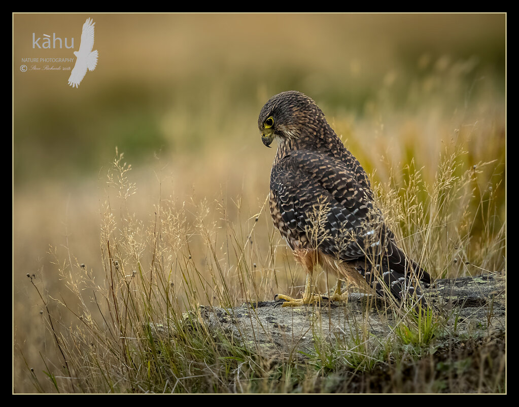 Male Falcon listens for lizards in the grass
