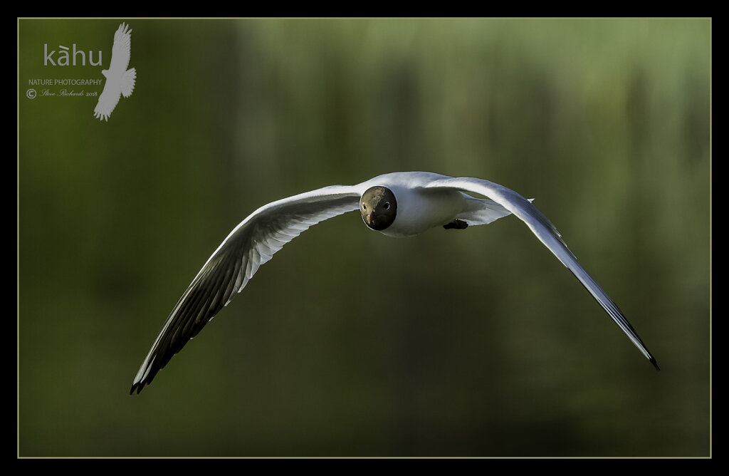 Gull-Black-headed.jpg