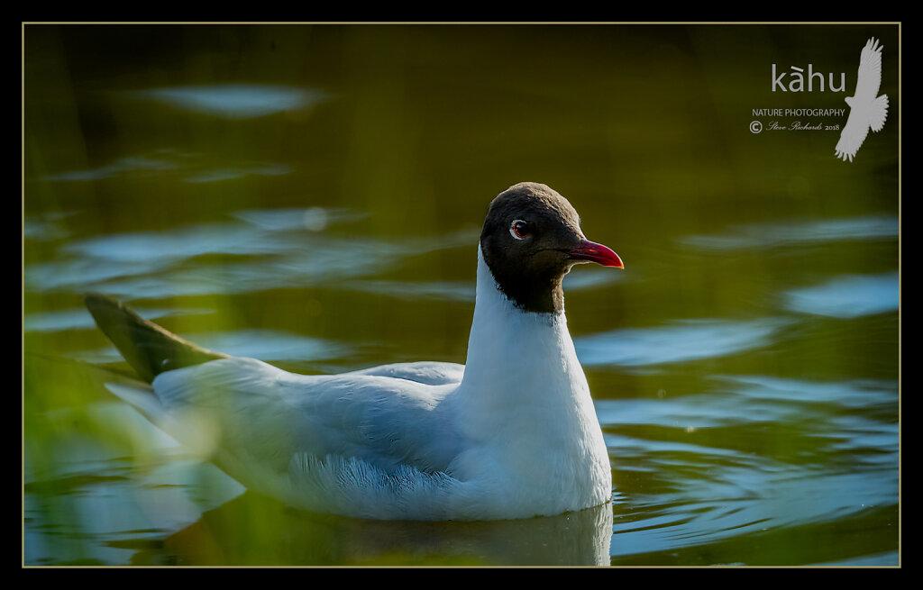 Gull-Black-headed2.jpg