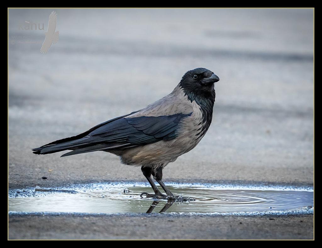 Hooded-crow.jpg