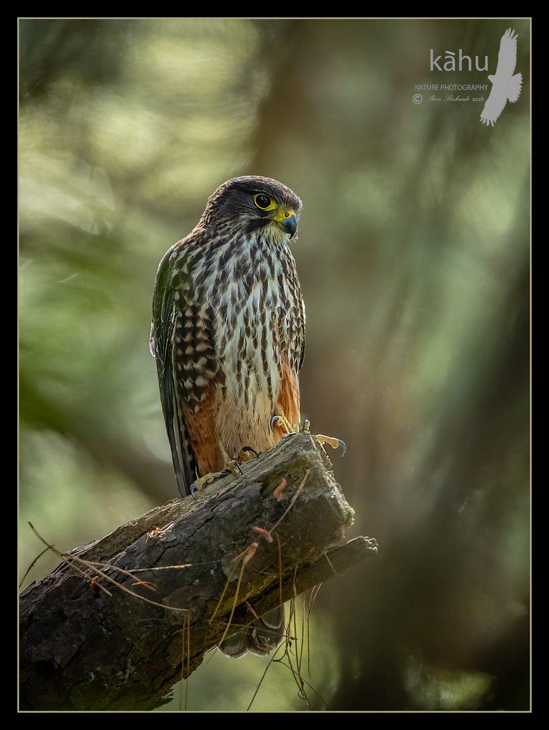 Male falcon surveys the area