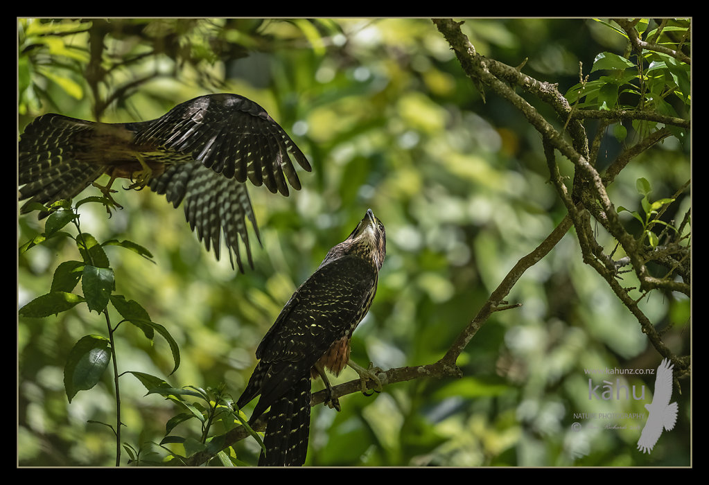 Male falcon dives in on his mate