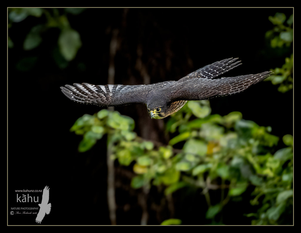 Falcon glides down from a high tree