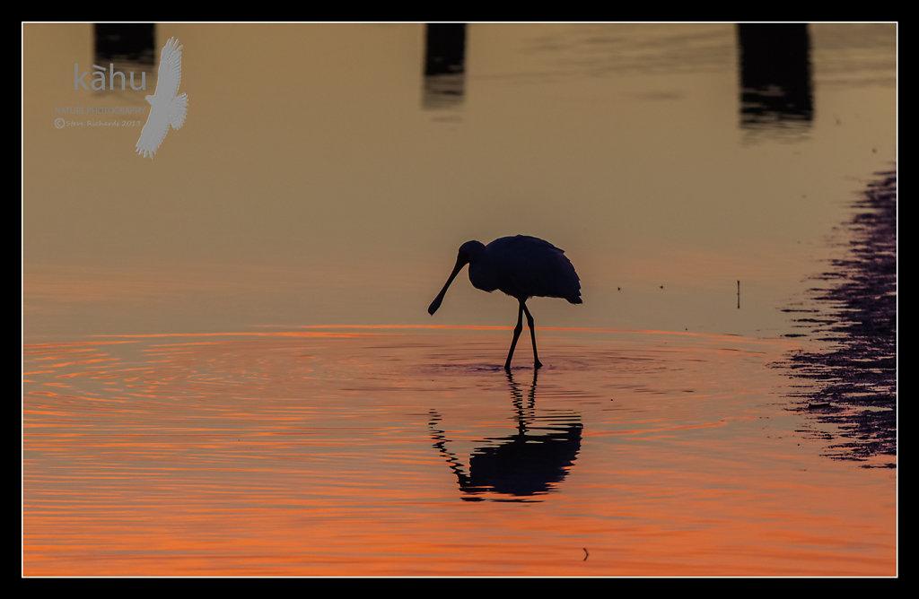 Spoonbill at Waikanae Estuary   SB25