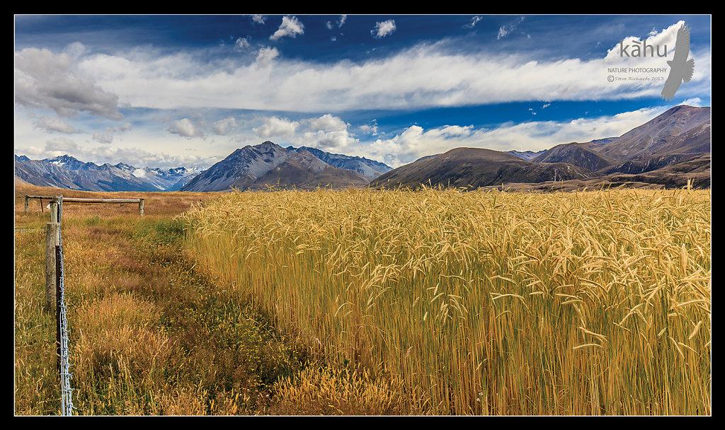Wheat field Ahuriri Valley  -  L5