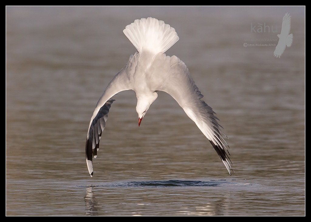 Red Billed Gull diving after crabs   SB18